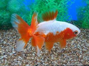 1000+ images about Goldfish on Pinterest | Auction, Fish ...