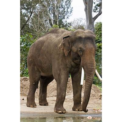 File:Asian elephant - melbourne zoo.jpg Wikipedia