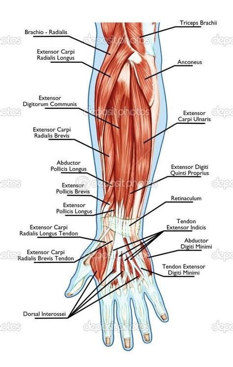 Arrangement of forearm muscles and tendons in the wrist. tendon of the arm | Medical anatomy, Human anatomy and ...