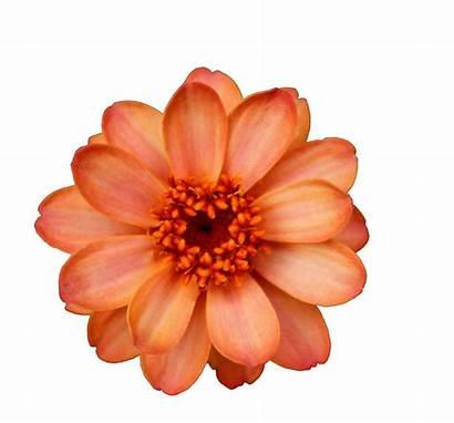 Flowers Transparent Flower Orange Nsparent Watercolor Overlays