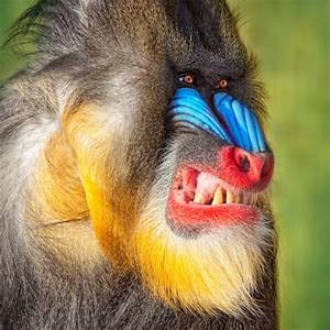 Mandrill Facts, History, Useful Information and Amazing ...
