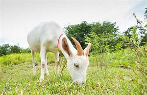 No, Goats Do Not Eat Tin Cans - Modern Farmer