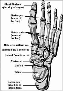 Foot Bones Diagram