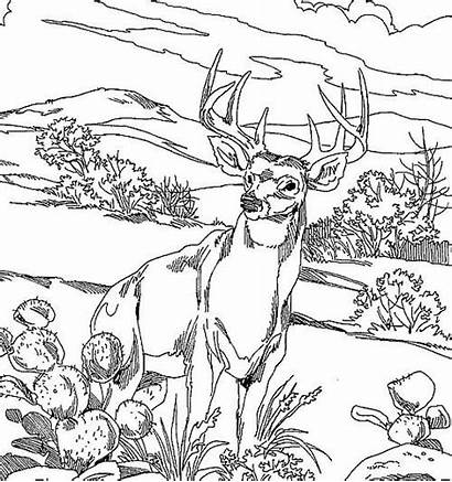 Deer Coloring Pages Realistic Hunting Adults Colouring