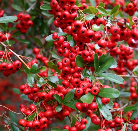 small evergreen shrub with berries pyracantha red column also known as firethorn with red berries berries pinterest red