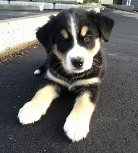 Bernese/Husky mix. OMG!! So cute!! | Dogs | Pinterest ...