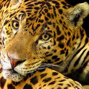 Flickr Tambako The Jaguar