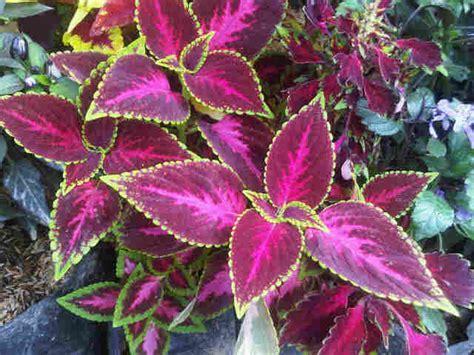 tanaman coleus tipe bibitbungacom