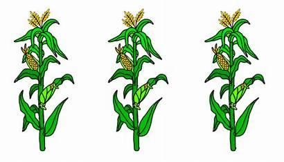 Animated Warming Global Degree Half Crops Corn