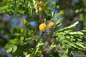Plants Of Texas Rangelands  U00bb Little