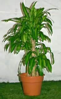 Corn House Plant Tree