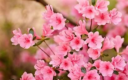 Blossoms Blossom Flowers Flower Wallpapers Spring Azaleia