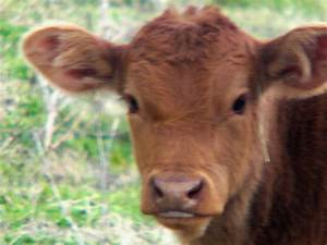 LANDYWOOD CATTLE RANCH: Limousin Baby Calves