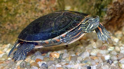 aquatic turtles slider and other semi aquatic turtle diets vegetables