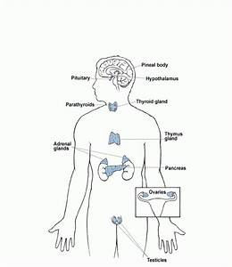 Endocrine System Diagram Unlabeled Image collections - How ...