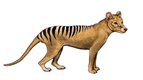 tasmanian tiger  doomed   dna