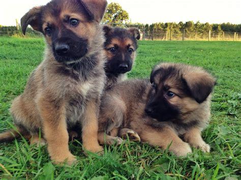 german shepherd puppies  sale brandon suffolk
