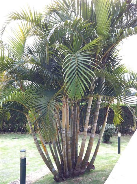 Palmeira-de-jardim ou Areca-bambu (Dypsis lutescens ...