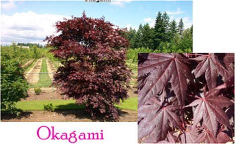maple japanese acer palmatum tree kagami zone palm sun leaves maples nursery requirements usda