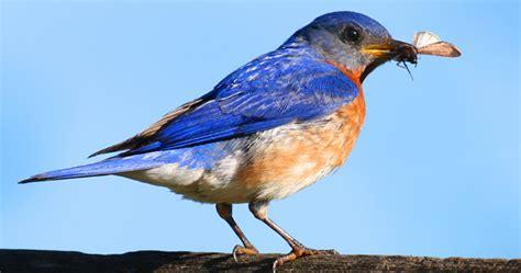 image gallery wisconsin bluebird