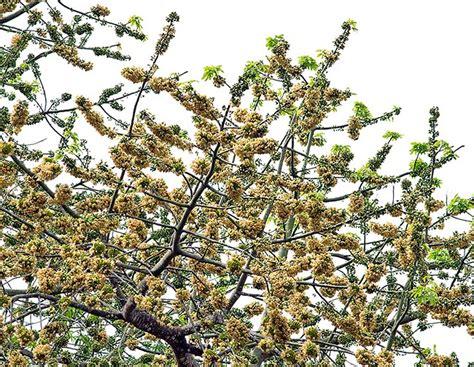 fiori ermafroditi ceiba pentandra monaco nature encyclopedia