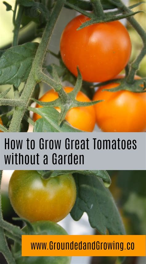 how to grow tomatoes how to grow great tomatoes without a garden