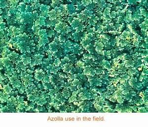 Azolla - IRRI Rice Knowledge Bank