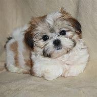 Shorkie Shih Tzu Puppies