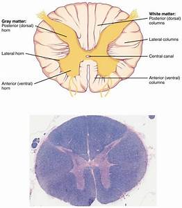 14 4 The Spinal Cord