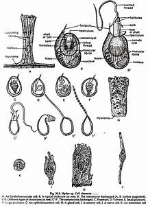 Hydra  Reproduction And Regeneration