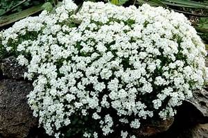 arabis planter et entretenir ooreka With modeles de rocailles jardin 2 crassula planter et entretenir ooreka