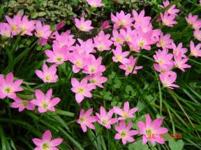 Pink Rain Lily Bulb Plants with Flowers
