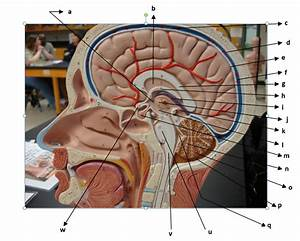 Nervous System - The Brain And Cranial Nerves