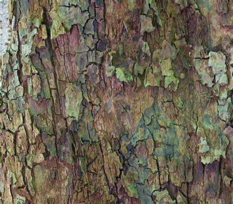 apfelbaum krankheiten stamm apfelbaum verliert rinde 187 woran kann das liegen