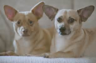 chiweenies chihuahua and dachshund breed mix popular