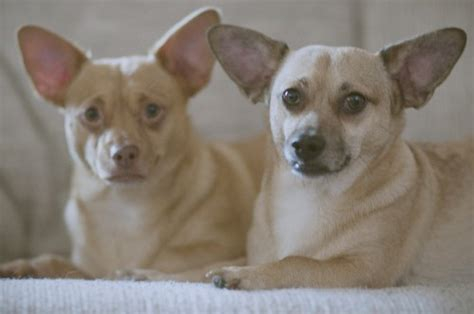 do haired chiweenies shed chiweenies chihuahua and dachshund breed mix popular