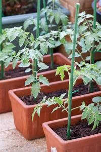 Plant Tomate Cerise : tomates en pot tomates en pots au jardin forum de ~ Melissatoandfro.com Idées de Décoration