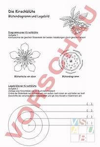 Aufbau Einer Kirschblüte : arbeitsblatt kirschbl te diagramm und legebild biologie pflanzen botanik ~ Frokenaadalensverden.com Haus und Dekorationen
