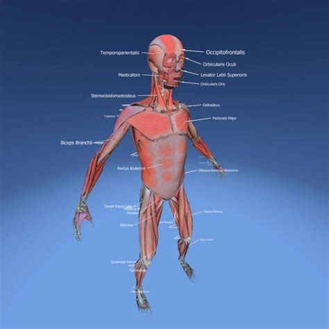 Muscular System Images Muscular System Anatomy 3d Lesson Eonexperience