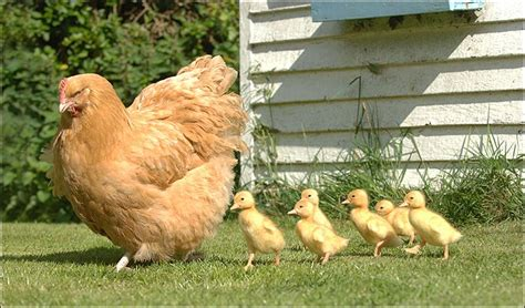 tangkap anak ayam  waktu senja  budak felda