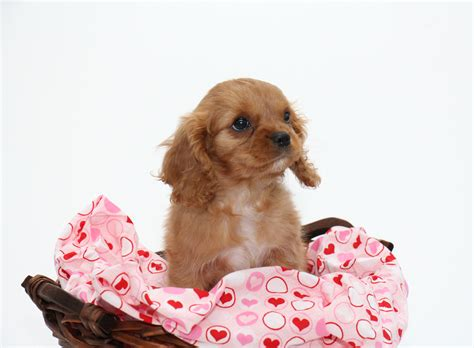 small friendly non shedding breeds 100 small non shedding dogs easy to here are
