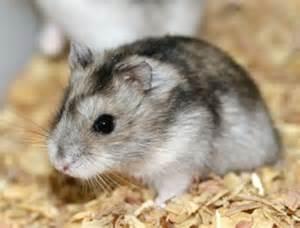 Durée De Vie D Un Hamster Russe by Le Hamster Russe