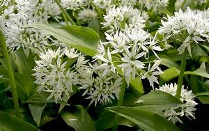 Bärlauch Pflanze Kaufen : thai basilikum pflanze kaufen pflanzen f r nassen boden ~ Eleganceandgraceweddings.com Haus und Dekorationen