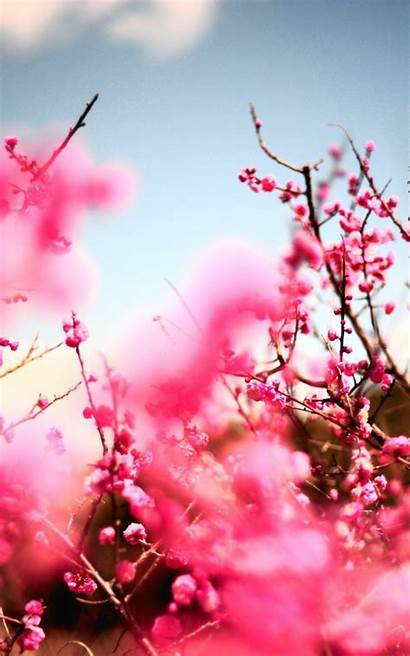 Blossom Cherry Iphone Tree Pink Plus Wallpapers
