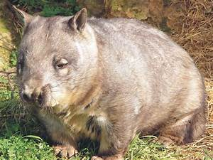 Wombat Wallpapers & Images | Animal Literature