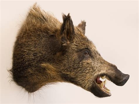 wild boar head trophy mount