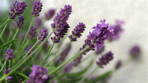wespen hilft lavendel verbrauchertipps bild de