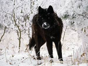 Another Day, Another Dead Wolf…. | Howling For Justice