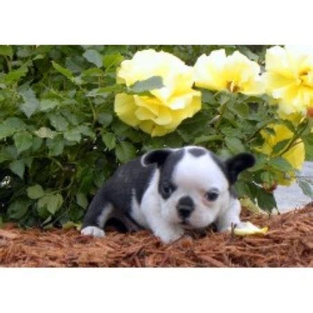 Puppy Love Kennels French Bulldog Breeder In Limestone
