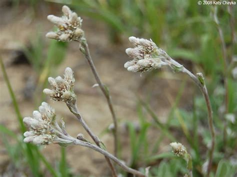 antennaria neglecta field pussytoes minnesota wildflowers
